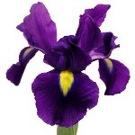 Purple_Iris_Flower_Sacramento_150