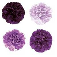 Mixed_Purple_Carnation_Flower_150